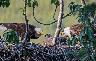 Eagles feed young in nest